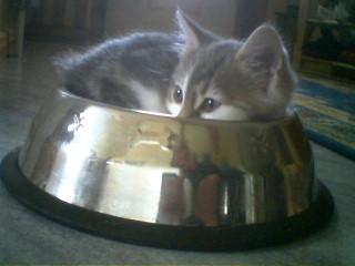 Katt i hundskålen