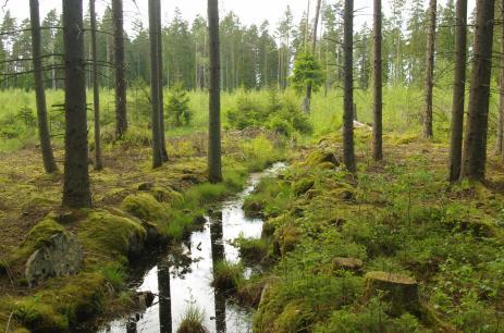 Här börjar Bräkneån ett stycke upp i björkslyet i form av ett litet smalt skogsdike som mestadels är torrlagt. Foto: Inge Nilsson