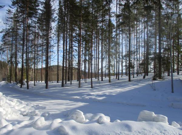 Vacker tallskog i vinterskrud