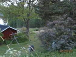 Björnen går lugnt och betar gräs vid åkerkanten.