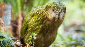 Här är en bild på en Kakapo.