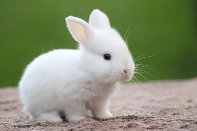 Vit kanin