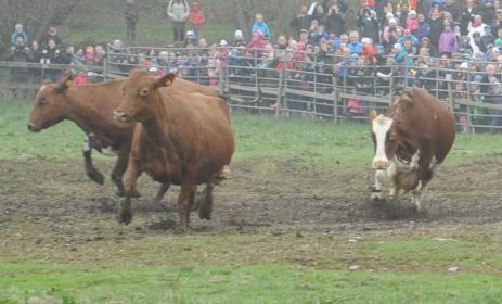 Glada kossor roade en stor skara människor som hade kommit till Naturbruksgymnasiet i Bräkne-Hoby.
