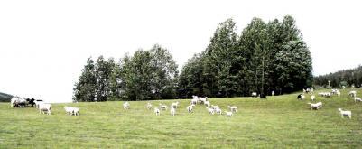 Fåren sas vara från Myckelby och alltså tillhörande en annan församling...så dom tittade lugnt på när vi gav oss iväg från Almsjönäs