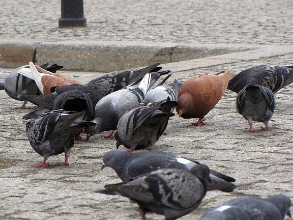 pigeons in the very center of Wroclaw city, in Rynek square and in the 'pigeon square' actually.