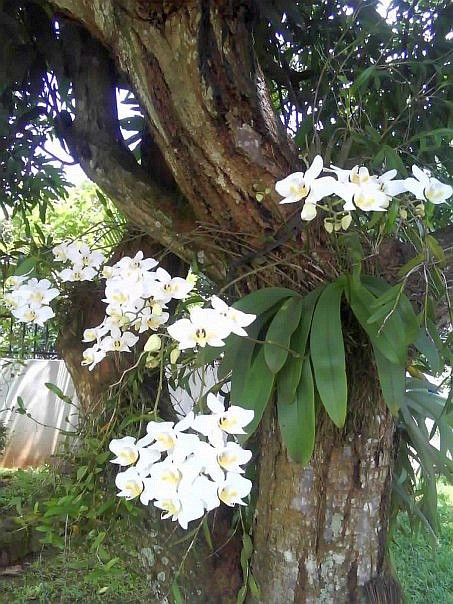 This isWHITE ORCHID. it's very beautiful, right.?? :)it is infront of my friend's house