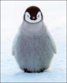 pingviner gemobladetse