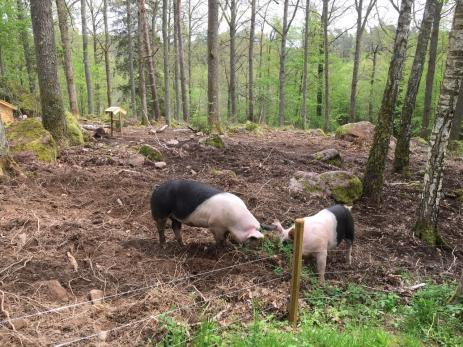 Familjen Magnussens glada grisar So-Fia och Miss Piggy kunde man få träffa om man stannande till hos Walters hus.