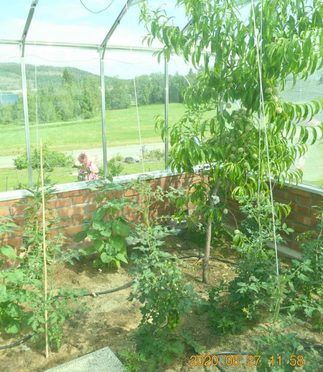 Persikorna är redan ganska stora, även aprikoserna verkade trivas i växthuset....
