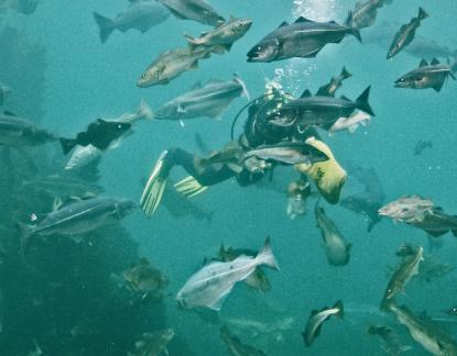 Atlanterhavsparken, matning av fiskar i 20 kg klassen<br />