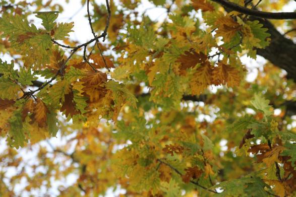 Man kan redan se skymten av de gula löven. Man kan också lägga sig under trädet och kolla på de vackra löven.