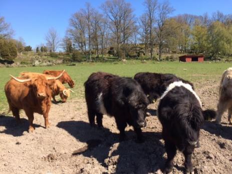 <span>På Silpingetrampen kan man hälsa på hos Sofie och Marcus Trellman i Tubbarp och hälsa på deras trevliga och nyfikna kor</span>