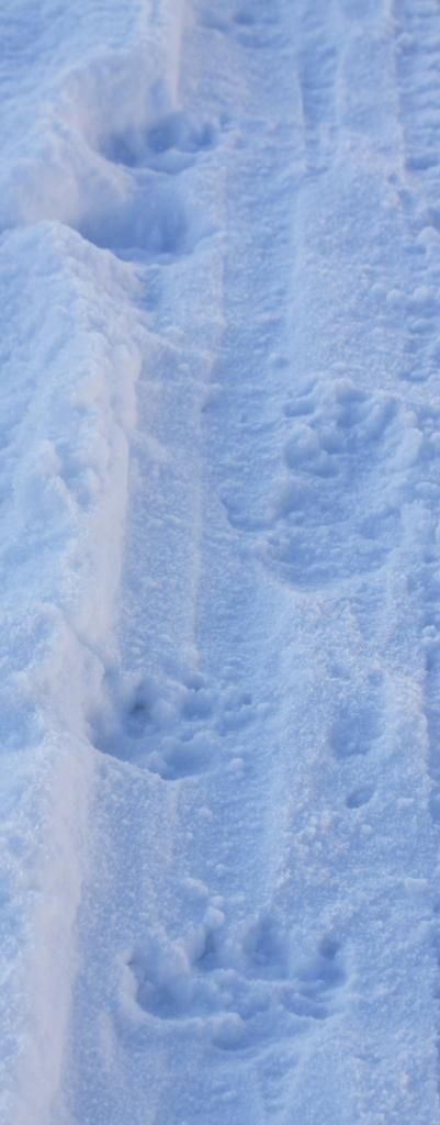 Det här vet jag då vad det är. Det är Nalles spår, byns största hund.