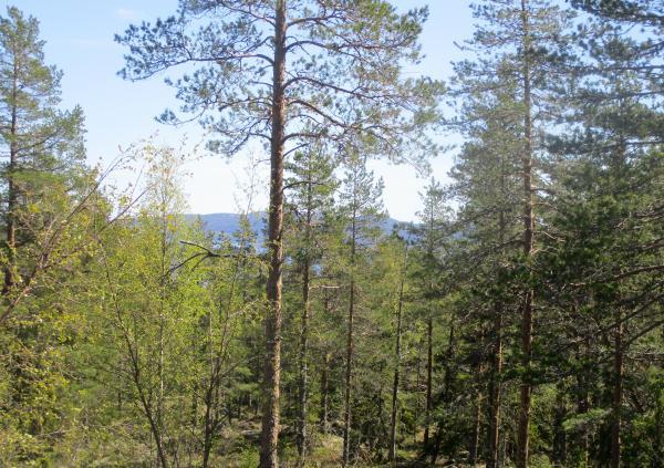 Utsikten från stugan skyms av höga träd