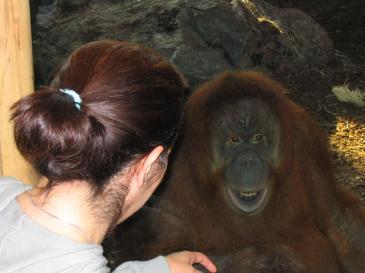 Igge trivs i sitt nya orangutanghus