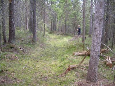 Vacker gammal skog mellan Skidsta fäbodar och Utviks fäbodar.