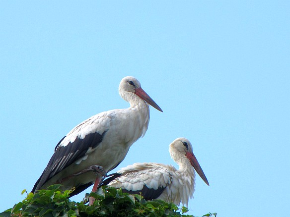 storks, photo in August 2010